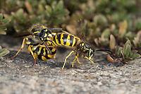 Gemeine Wespe, Gewöhnliche Wespe, Paarung, Kopulation, Kopula, Vespula vulgaris, Paravespula vulgaris, common wasp, yellowjacket, pairimg, copulation