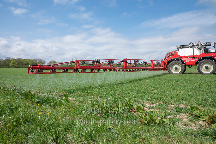 Spraying wheat near field margin with fungicide - Licolnshire, April