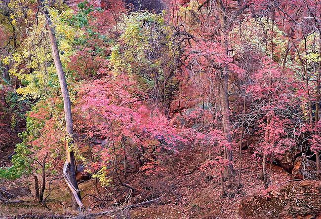 Color Autumn Maple Trees At Sirwana, Zion National Park, Utah