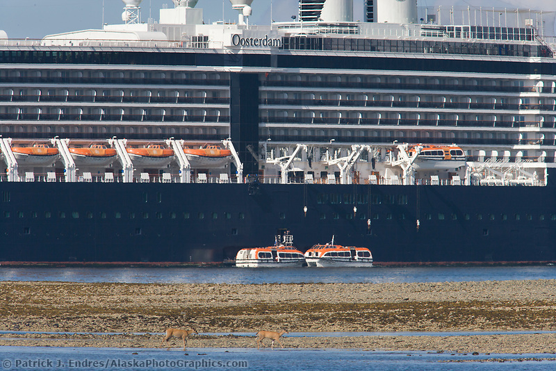 Sitka black-tailed deer feed along the shore of Sitka Sound, Holland America Cruise ship Ooseterdam anchored offshore, Sitka, Alaska