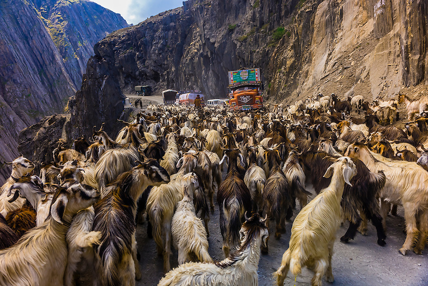 Image result for jammu kashmir goats