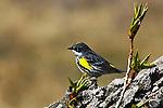 WARBLER; yellow rumped warbler