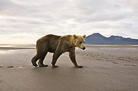 Kodiak grizzly bear (Ursus arctos middendorffi), Hallo Bay. This guy is VERY CLOSE to us.