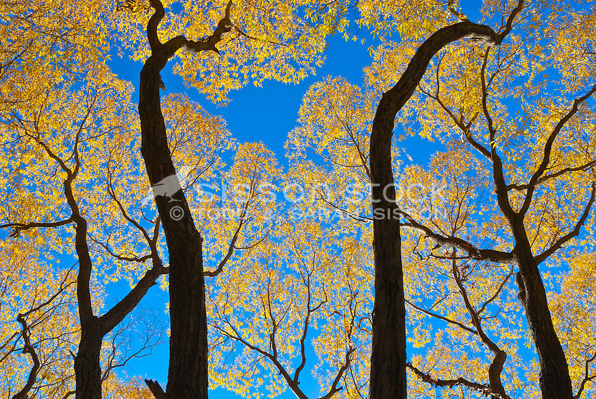 Low, wide angle of tree trunks and yellow Autumn leaves, Central Otago, South Island, New Zealand