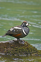 Harlequin Duck (Histrionicus histrionicus) drake. Pacific Northwest river. Spring.