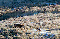 Wild GRAY WOLF (Canis lupus) being chased by cow elk.  Greater Yellowstone Ecological Area.  Fall.  Cow is being aggressive towards wolf.