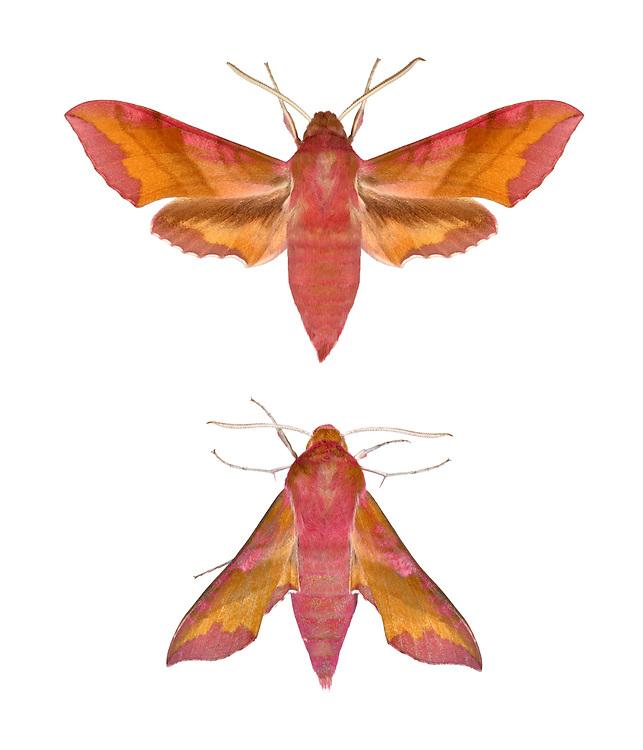69.017 (1992)<br /> Small Elephant Hawk-moth - Dielephila porcellus