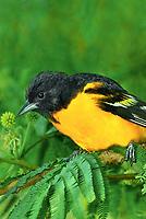 561920070vf a wild breeding plumaged male baltimore oriole icterus galbula perches on a small tree limb on south padre island cameron county texas