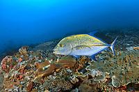 Bluefin trevally, Caranx melampygus, Nusa Penida, Lembongan, Bali, Indian Ocean, Indonesia