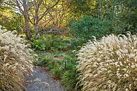 Sesleria autumnalis lawn substitute with Miscanthus sinensis, ornamental grass in autumn with seed heads in California garden, metasequoia tree