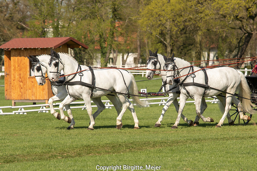 Four-in-Hand horse carriage driving with white Kladruby Horses, at the International Carriage Dressage competition in Kladruby n. Labem - The Czech Republic, Europe. 2018
