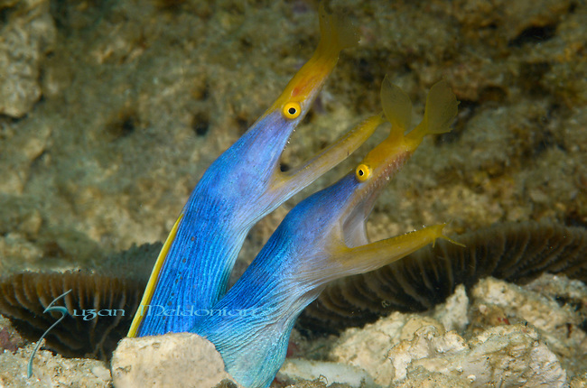 Twin Blue Ribbon Eels, Anilao