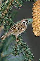 Eurasian Tree Sparrow, Passer montanus ,adult, Oberaegeri, Switzerland, Dezember 2004