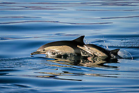 Long-beaked Common Dolphin, Delphinus capensis, mother and calf leaping in the Gulf of California, Sea of Cortez, Mexico, Pacific Ocean