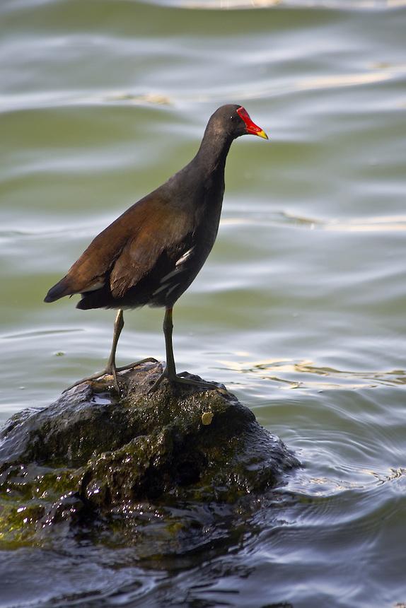 Common gallinule, Morton Lake, Lakeland, Florida