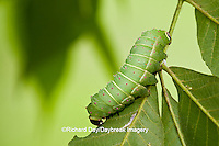 04000-006.05 Luna Moth (Actias luna) caterpillar (larva) on host plant Hickory Tree (Carya Sp.) Marion Co., IL