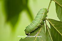 04000-006.05 Luna Moth (Actias luna) caterpillar (larva) on host plant Hickory Tree (Carya Sp.) Marion Co., IL