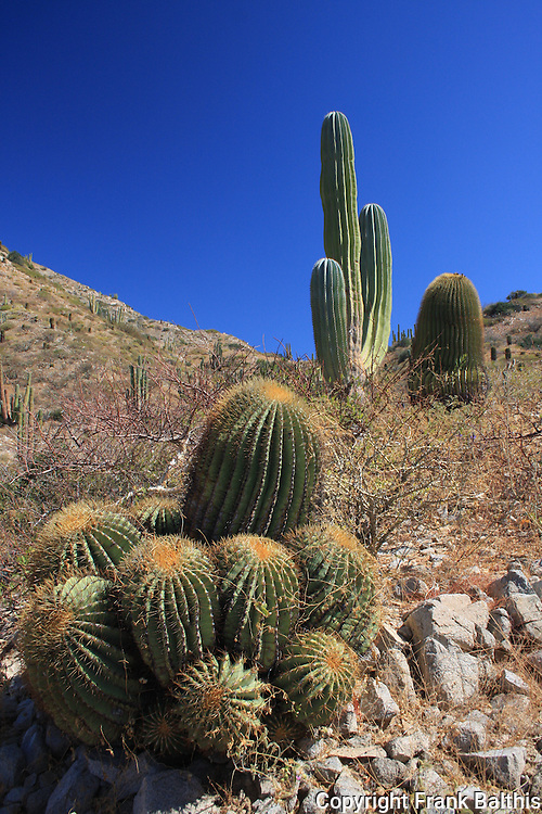 giant barrel cactus and cardon on Isla Santa Catalina
