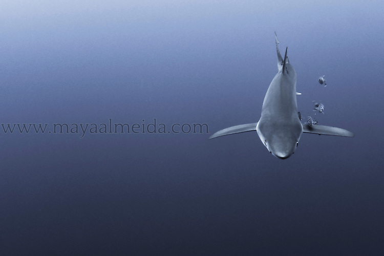 The fast moving blue shark (Prionace glauca) is a species of requiem shark, of the family Carcharhinidae, that inhabits deep waters in the world's temperate and tropical oceans. Tagging studies in the North Atlantic have revealed that Blues are the champion migrators among sharks. Blue Shark migrations of 1,200 to 1,700 miles (2,000 to 3,000 kilometres) are common. This shot was taken in the Atlantic Ocean of the Azores Islands in Portugal. The image was shot on a dusk dive in the open blue. We used bait to attract the shark, however, waited for almost two hours before he turned up. Which by this stage meant ambient light had changed and was considerably darker than we had planned. This lowered ambient light signals feeding time to the shark and the instinct was clear from its body movements that included lowered lateral fins and his steady increase in speed. Strobes were not used in this shot in order to keep the dusk atmospehere as natural as possible.