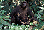 Africa, East Africa, Tanzania, Gombe National Park<br /> Chimpanzee &quot;Gremlin&quot; with infants