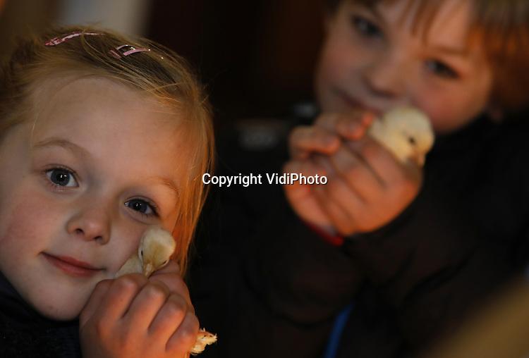 Foto: VidiPhoto<br /> <br /> BARNEVELD - Paaskuikens knuffelen in het Pluimveemuseum in Barneveld vrijdag. Het enige pluimveemuseum ter wereld trekt zo vlak voor Pasen extra veel bezoekers met kinderen, vooral ook omdat er met de kuikentjes geknuffeld mag worden. De kinderen zijn er niet weg te slaan. De dieren worden ter plaatste uitgebroed in een oude broedmachine, terwijl de eieren worden geleverd door fokkers van oude Hollandse kippenrassen. Na de knuffelsessies gaat een deel van de kuikens terug naar de fokkers. Wat overblijft wordt door het museum verkocht aan belangstellenden. Omdat het gaat om oude rassen zijn de diertjes relatief veel geld waard. Volgens woordvoerder Cees Floorijp bezochten vorig jaar zo'n 53 nationaliteiten het kippenmuseum, dat de historie van de Nederlandse eier- en kippenhandel belicht. Vanwege de te verwachten drukte op Tweede Paasdagen, als het museum ook geopend is, zijn er zo'n twintig extra kuikentjes om te knuffelen uitgebroed.