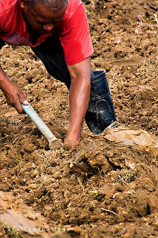 Man in red shirt planting cassava in Trinidad