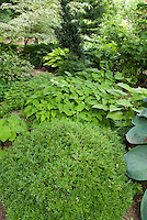 Shady garden perennials hostas, epimedium, Galium odoratum sweet woodruff, ferns, boxwood Buxus Green Velvet