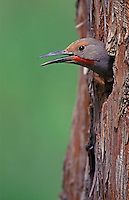 Red-shafted Flicker in nest cavity, Malheur National Wildlife Refuge, Oregon