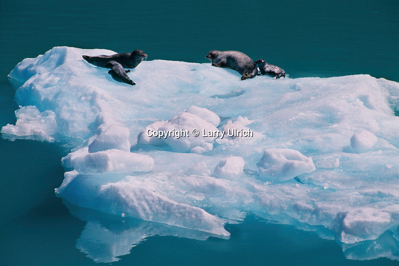 Harbor seals and icebergs  <br />