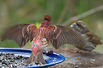 Male purple finch displaying for female