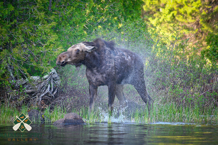 &quot;Moose &quot;The Shake&quot;<br />