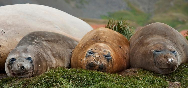 Three resting Southern elephant seal (Mirounga leonina), Grytviken, South Georgia