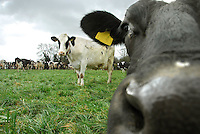 Stephen Yates's Samhaven Holsteins grazing new seeds grass for the second day at Common Farm, Sheriffhales, Shropshire.