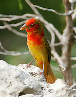 Summer tanager first-spring male