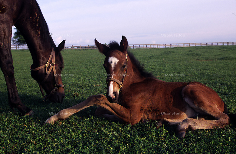 Foal dozes off whie his mother eats closer on a Kentucky horse farm.