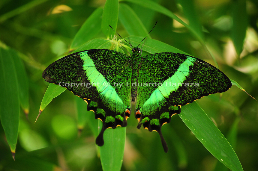 Scottsdale, Arizona. A Green Banded Peacock butterfly at an Arizona sanctuary. The United States Fish and Wildlife Service is contributing $20 million to help save the disappearing Monarch butterflies. The insect may be on its way to the endangered species list. In Arizona a sanctuary takes care of thousands of butterflies. Photo by Eduardo Barraza © 2015