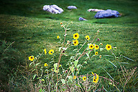 Sunflowers accent the Freedom Hills Park, site of the Bonneville Shoreline 5K, held Octover 3, 2015 in Centerville, Utah.