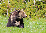 Grizzly bears are often seen in Yellowstone National Park in the Spring.