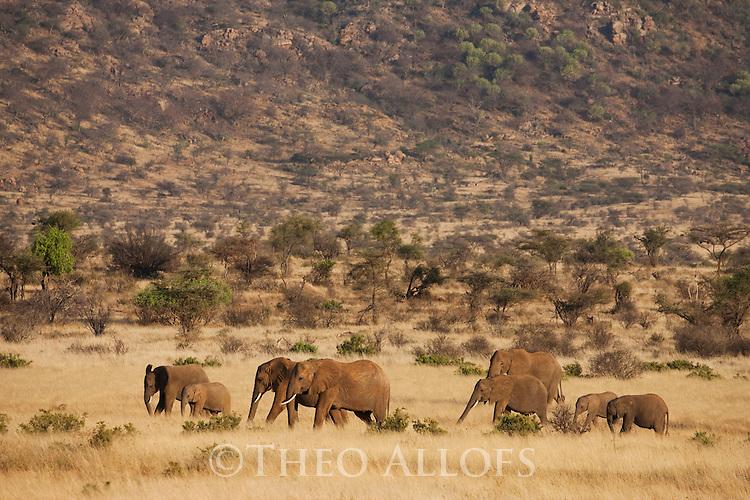 Kenya, Samburu, elephant breeding crossing savannah
