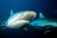 GRAY REEF SHARKS Carcharhinus amblyrhynchos  FIJI.