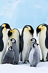 Emperor Penguin Creche. Penguins are famous for their shared childrearing skills. Once the female lays an egg, the male is relegated to keeping the egg warm, balanced on his feet for two months while the female feeds. When the baby emerges, the female returns and takes over.