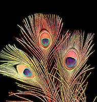 IRIDESCENCE: PEACOCK FEATHERS<br /> Natural Transmission Diffraction Grating<br /> Spectral iridescence caused by a natural transmission diffraction grating composed of regularly spaced melanin rods.