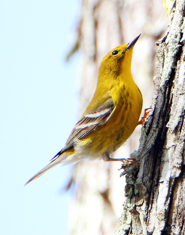 Adult male pine warbler