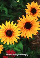 63821-184.04 Black-eyed Susan (Rudbeckia hirta 'Indian Summer')  Marion Co. IL