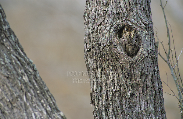 Eastern Screech-Owl, Megascops asio, Otus asio,adult in hole in mesquite tree camouflaged, Willacy County, Rio Grande Valley, Texas, USA, May 2004
