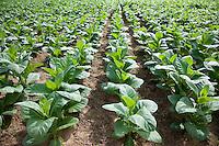 Cuba, Pinar del Rio Region, Viñales (Vinales) Area.  Tobacco growing, Montecinos tobacco farm.