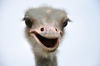 Avestruz criado em em cativeiro no Acre.<br /> <br /> O avestruz, ( Struthio camelus ) é uma ave não voadora, originária da África. É a única espécie viva da família Struthionidae, do género Struthio e da ordem das Struthioniformes. São considerados a maior espécie viva de ave.<br /> Foto Altino Machado<br /> 2017