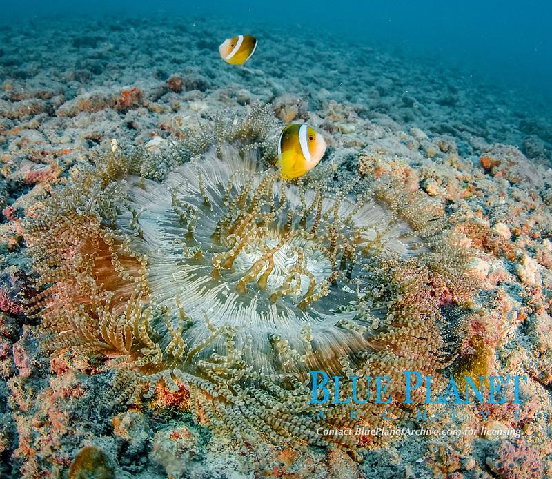 Clownfish and Sea Anemo, Yap, Micronesia, Pacific Ocean