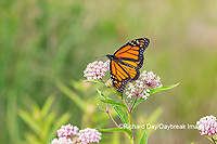 03536-06016 Monarch (Danaus plexippus) on Swamp Milkweed (Asclepias incarnata) Marion Co. IL