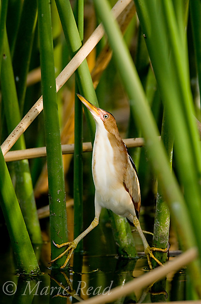 Least Bittern (Ixobrychus exilis), adult male clinging to reeds, Viera, Florida, USA
